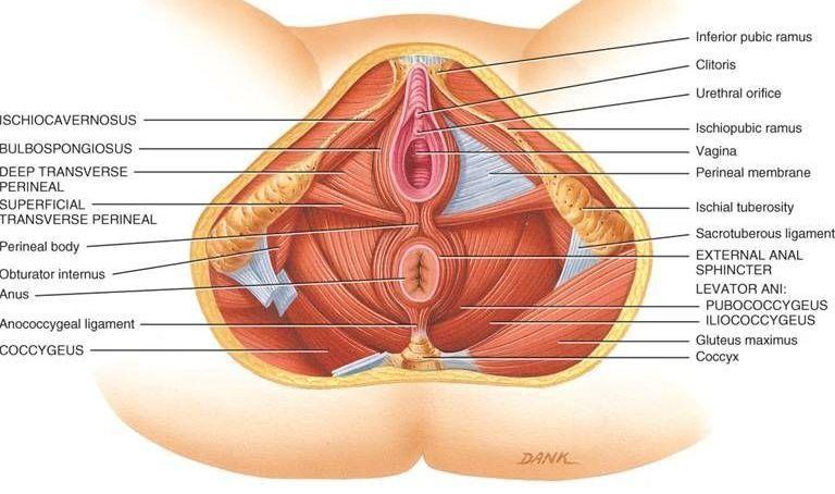 Suelo pélvico o periné, qué es y funciones