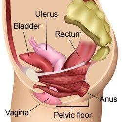 Músculos Suelo Pélvico Transversal