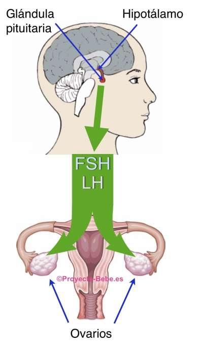Osteopatía embarazo y menstruación